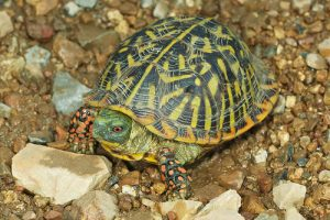 Ornate Box Turtle Female