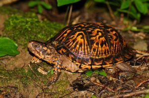 Ornate Box Turtle Pictures