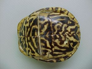Ornate Box Turtle Plastron