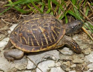 Ornate Box Turtle Shell