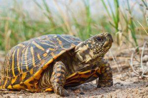 Ornate Box Turtles
