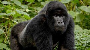Pictures of Mountain Gorilla