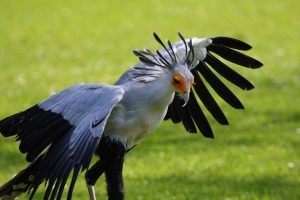 Secretary Bird Photos