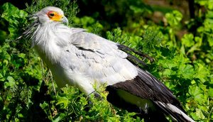 Secretary Bird Pictures