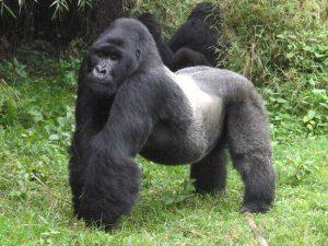 Silverback Mountain Gorilla