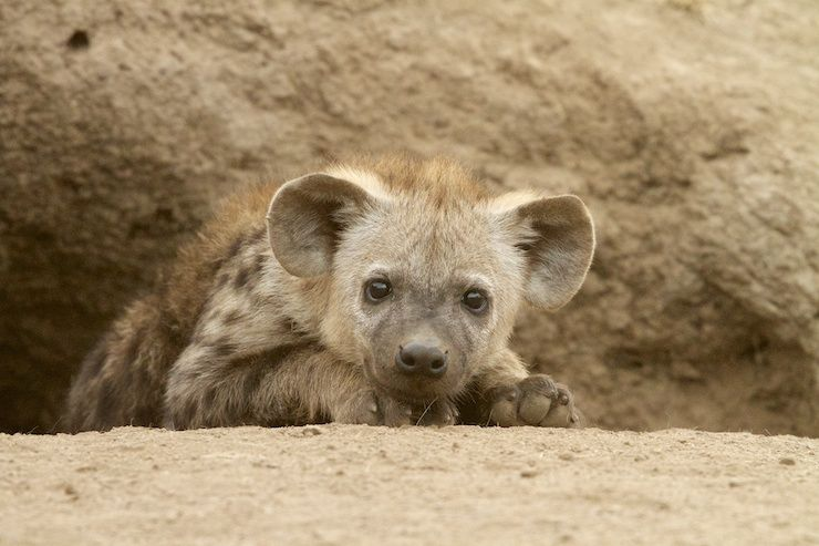 Spotted Hyena Facts Mating Habitat Skull Adaptations Diet