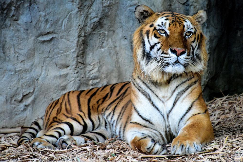 Indochinese Tiger Facts, Habitat, Behavior, Diet, Population