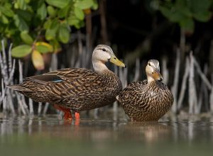 Mottled Duck Drake and Hen