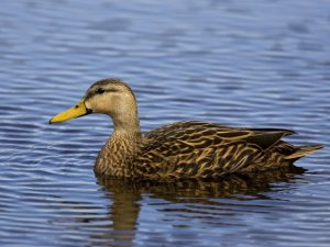 Mottled Duck Pictures