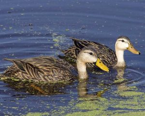 Mottled Ducks