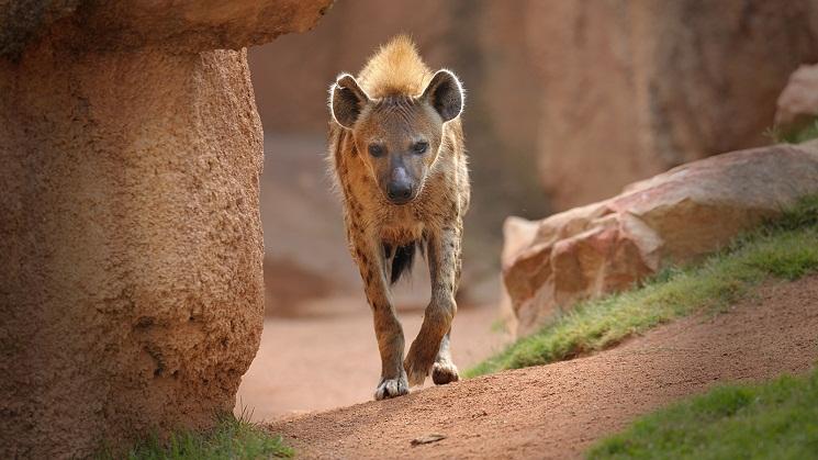 Hyena behavior