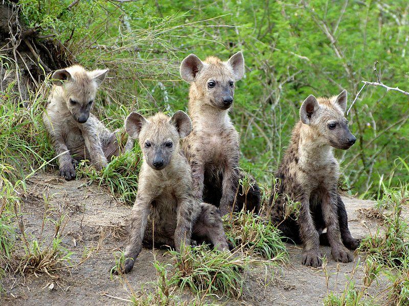 Spotted Hyena Facts, Mating, Habitat, Skull, Adaptations, Diet
