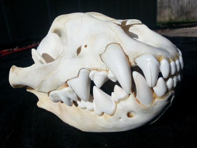 http://www.animalspot.net/wp-content/uploads/2016/12/Spotted-Hyena-Skull.jpg