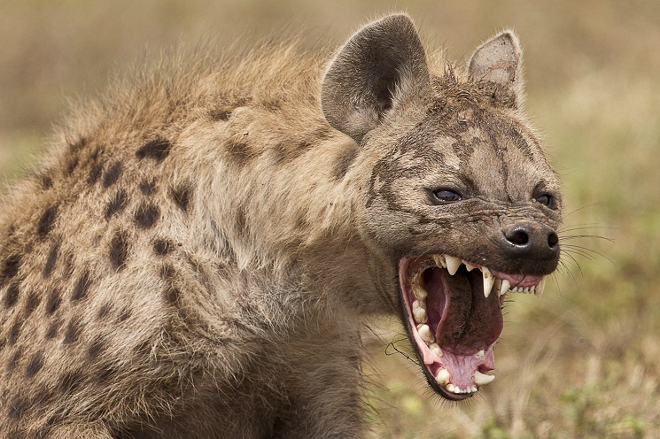 Spotted Hyena Facts, Mating, Habitat, Skull, Adaptations, Diet
