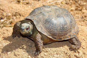 Western Box Turtle