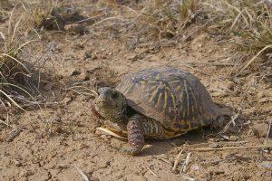 Western Ornate Box Turtle