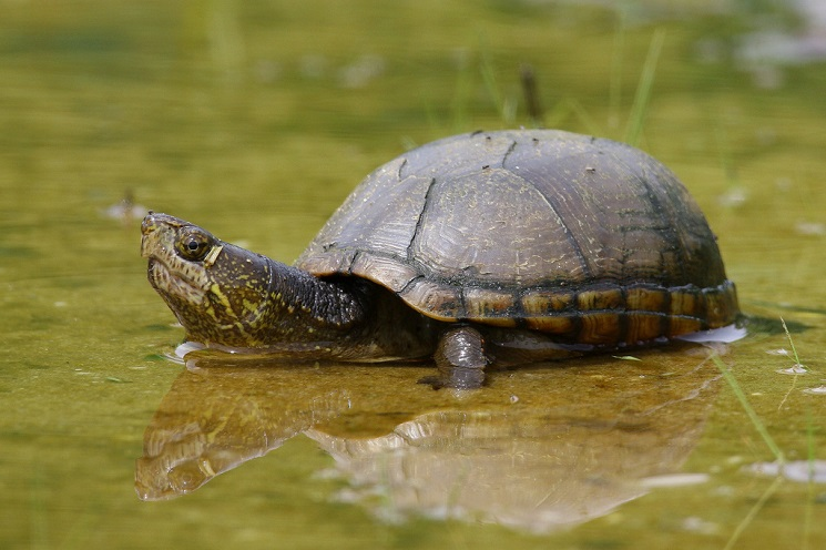 Eastern Mud Turtle Facts, Distribution, Adaptations, Pictures