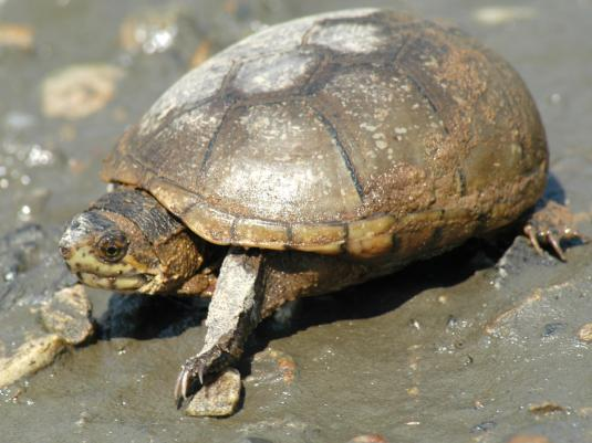Eastern Mud Turtle Facts, Distribution, Adaptations, Pictures Raccoons As Pets