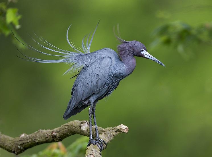 Little Blue Heron Facts Pictures Distribution Behavior