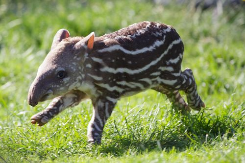 Malayan Tapir Facts Distribution Behavior Adaptations