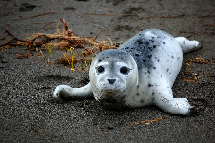 harbor seal facts habitat behavior predators pictures