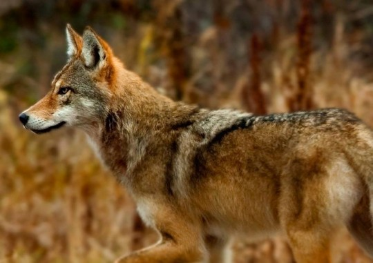 Eastern Wolf on Color Life Cycle 5