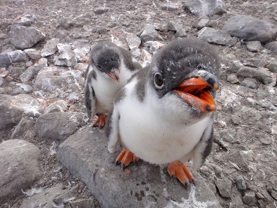 Gentoo Penguin Facts, Habitat, Predators, Lifespan, Pictures