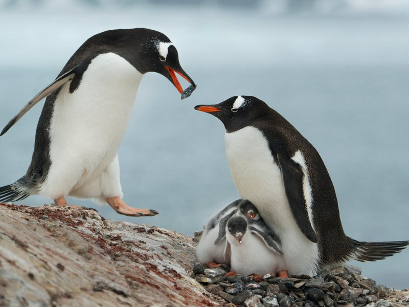 Gentoo Penguin Facts Habitat Predators Lifespan Pictures