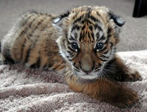 South China Tiger Facts Habitat Behavior Diet Pictures