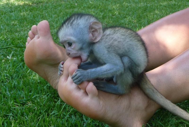 vervet monkey facts distribution diet vocalizations