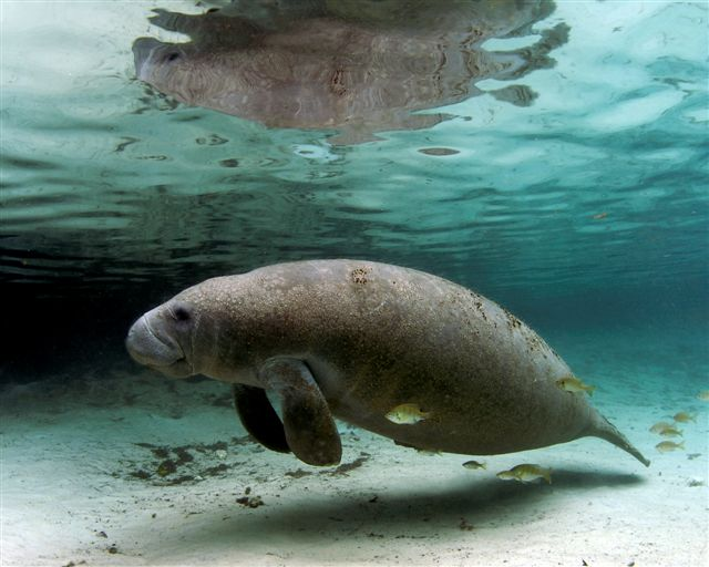 West Indian Manatee: Species Profile
