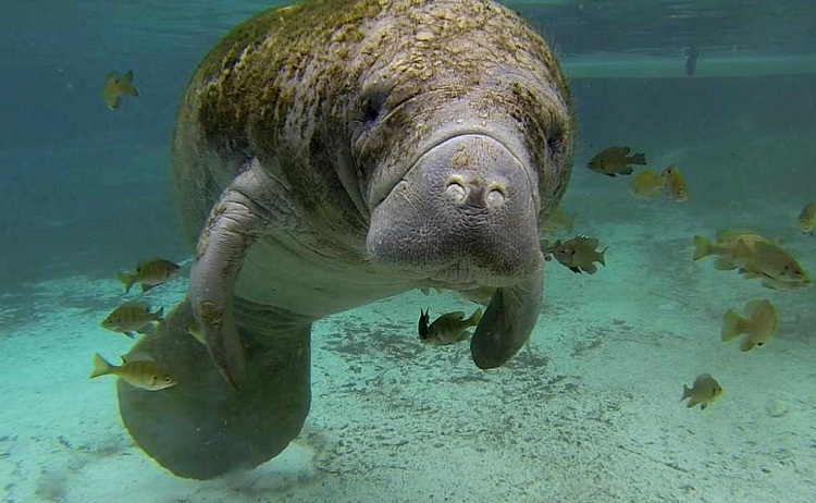 The reasons for manatee endangerment and how to protect them
