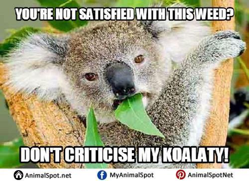 Koala Memes  Funny Koala Memes