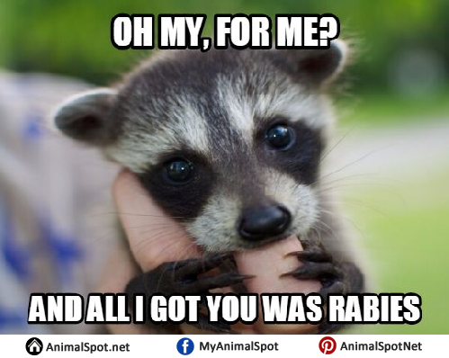 Baby Raccoon Memes raccoon memes