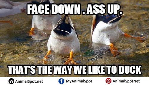 Duck Meme duck memes,Duck Meme