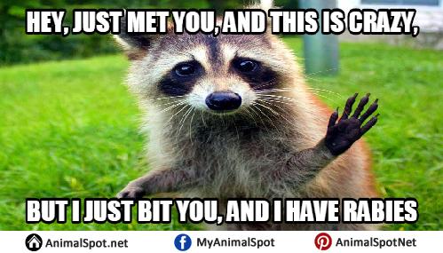 Evil Raccoon Meme raccoon memes