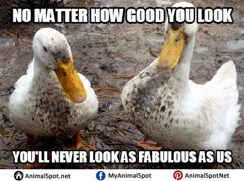 Funny Duck Meme duck memes,Duck Meme