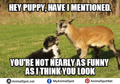 Funny Meme Pictures Clean : Goat memes