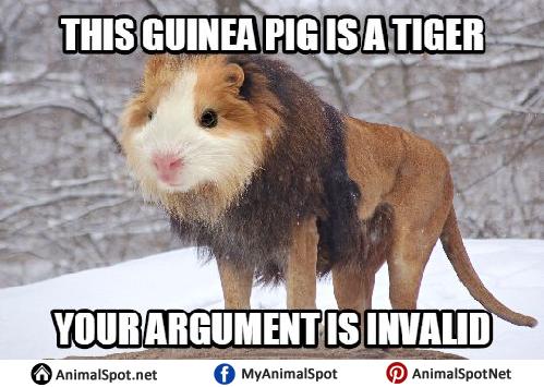 Guinea Pig Memes