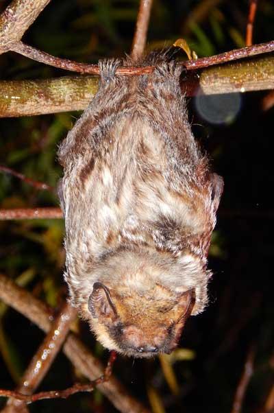 hoary bat facts habitat diet lifespan adaptations