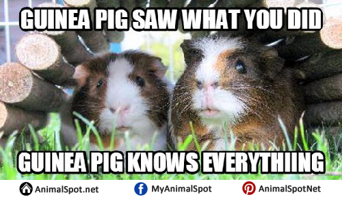 http://www.animalspot.net/wp-content/uploads/2017/04/Pictures-of-Guinea-Pig-Memes.png