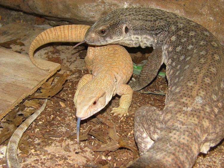 Savannah Monitor Facts Size Behavior Lifespan Pictures