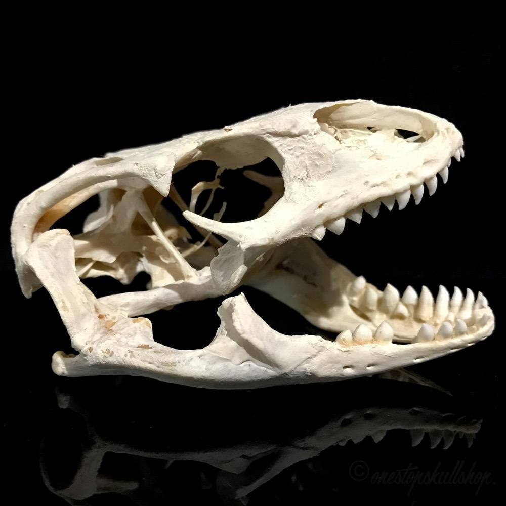 Savannah Monitor Facts, Size, Behavior, Lifespan, Pictures Oarfish Skull