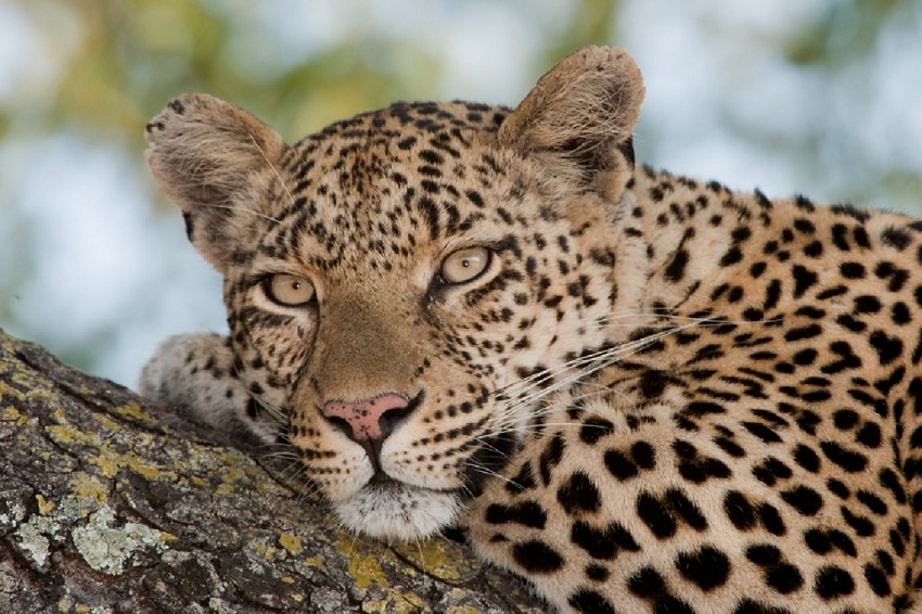 African Leopard Facts Distribution Habitat Diet Pictures