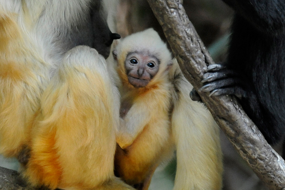 White-cheeked Gibbon Facts, Distribution, Adaptations ...