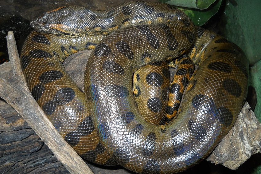 Green Anaconda Facts Size Weight Habitat Diet Pictures
