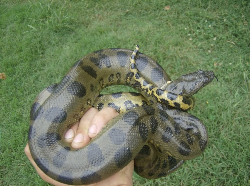Green Anaconda Facts, ...
