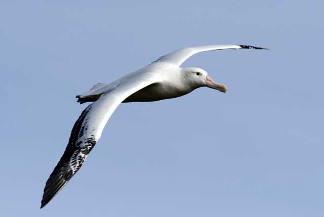 Wandering Albatross Facts, Lifespan, Predators, Pictures