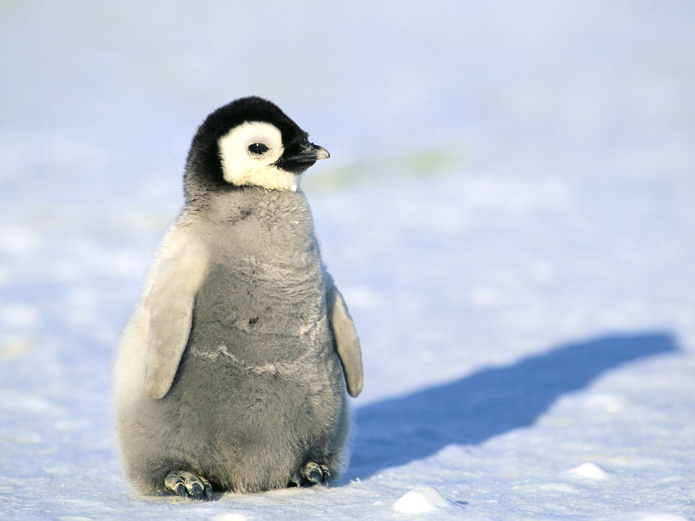 penguin facts types habitat diet adaptations pictures