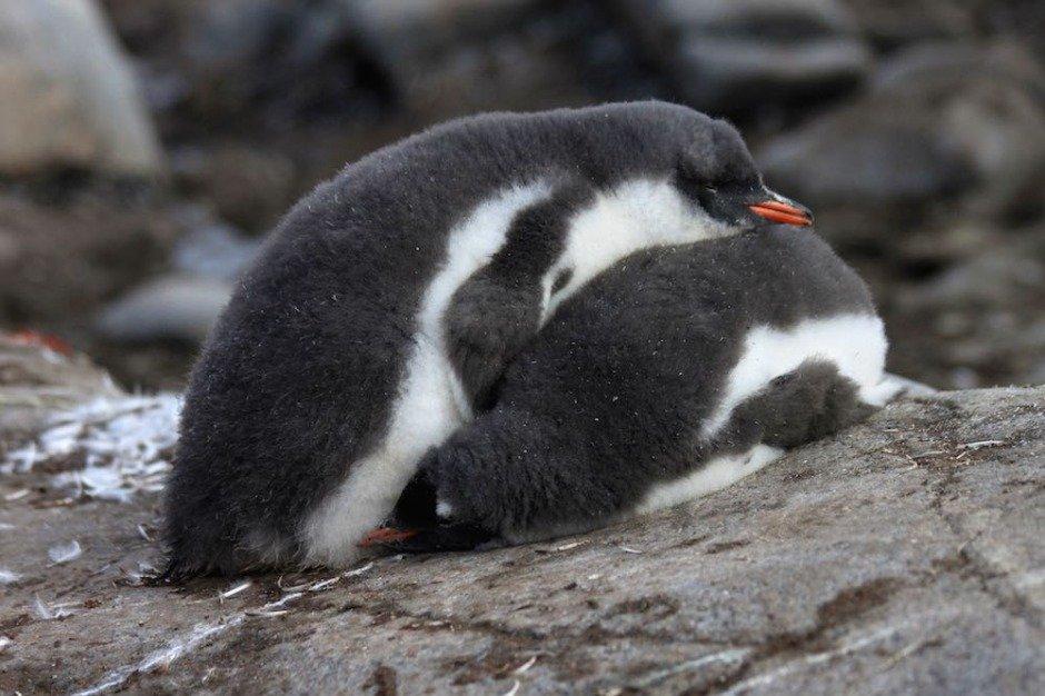 african penguins habitat